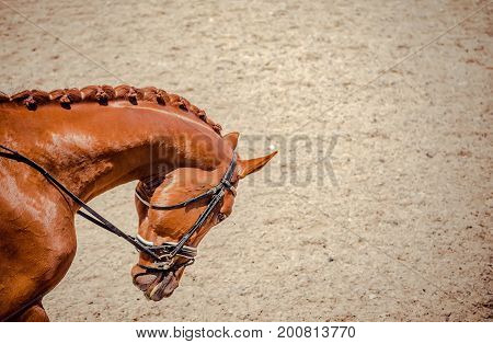Portrait of a thoroughbred horse on blur background. Dressage with beautiful horse closeup, equestrian sport. Side view head shot of a beautiful chestnut brown stallion.