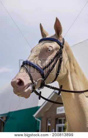 Portrait of a thoroughbred cream akhal-teke horse on blue sky background. Dressage with beautiful horse closeup, equestrian sport. Head shot of a beautiful akhal-teke stallion with blue eyes.