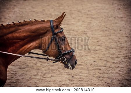 Portrait of a thoroughbred horse on sand background. Dressage with beautiful horse closeup, equestrian sport. Side view head shot of a beautiful chestnut brown stallion.