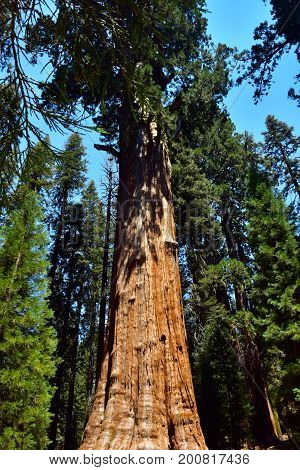 Giant Huge Sequoia Trees