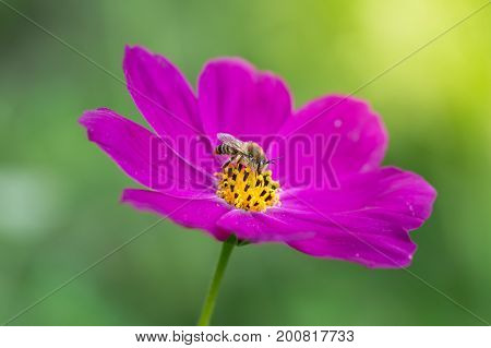 Bright purple flower with bee. Delicate flower space outdoors closeup. Macro bee