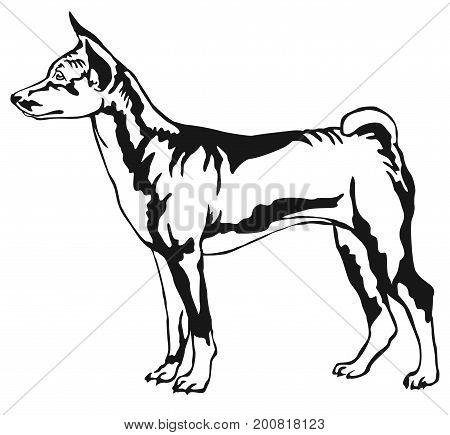 Decorative portrait of standing in profile Basenji vector isolated illustration in black color on white background