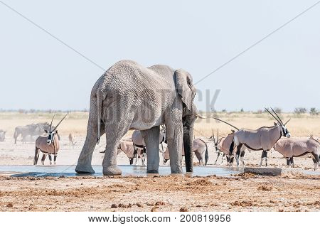 An African elephant drinking water at a waterhole in Northern Namibia. Oryx blue wildebeest and springbok are also visible