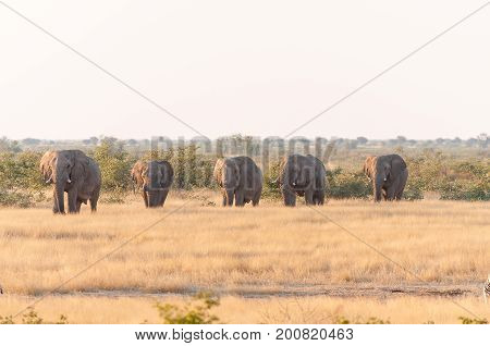 Five african elephants walking through a grass and mopani shrub landscape in Northern Namibia at sunset