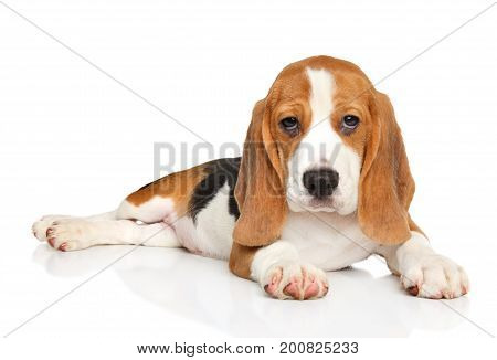 Beagle Puppy Posing On White Background