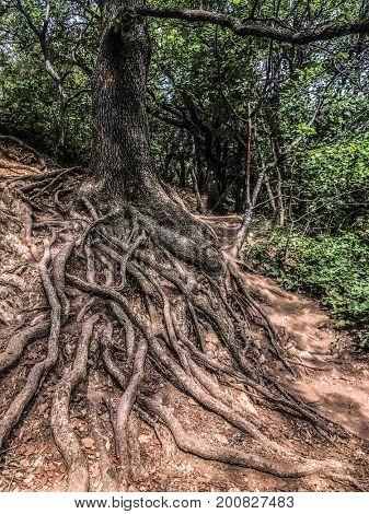 Old roots in Gorges du Verdon, France.