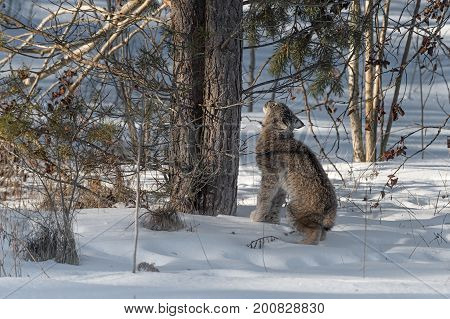 Canadian Lynx (Lynx canadensis) Looks Up Tree Trunks - captive animal