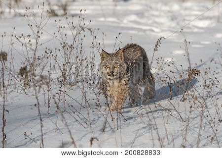 Canadian Lynx (Lynx canadensis) Walks Forward Through Weeds - captive animal
