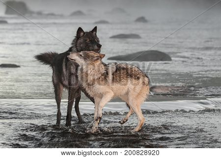 Grey Wolves (Canis lupus) Interact in River - captive animals