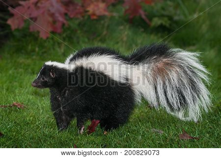 Striped Skunk (Mephitis mephitis) Stands to Left - captive animal