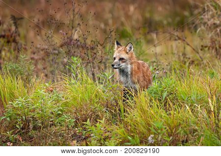 Red Fox (Vulpes vulpes) Stands in Weeds - captive animal