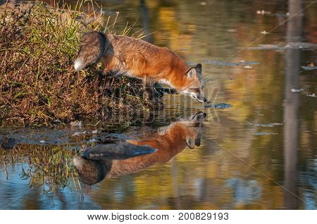 Red Fox (Vulpes vulpes) Stretches Out Over Water - captive animal