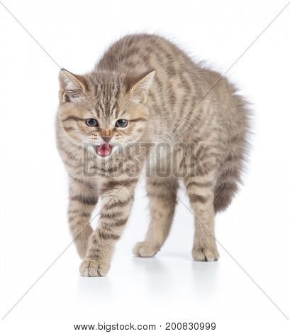 scared funny young cat isolated
