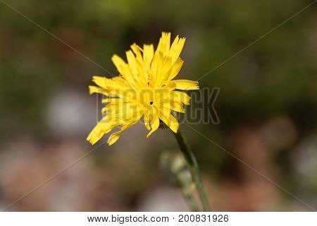 Flower of a slender sowthistle (Sonchus tenerrimus)