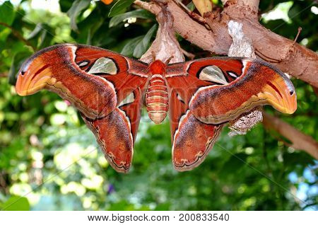 An Atlas moth the world's largest lands in the gardens for a rest.