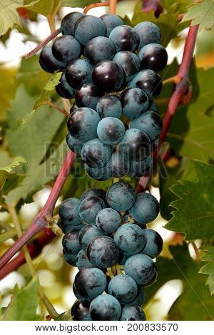 A clump of red wine grapes hang in the vineyard.