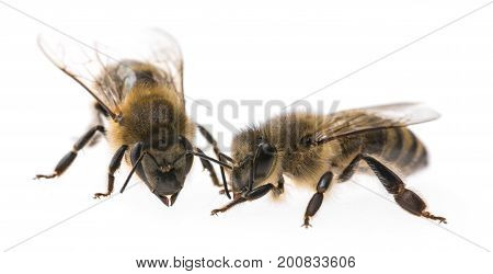 worker bees isolated on a white background