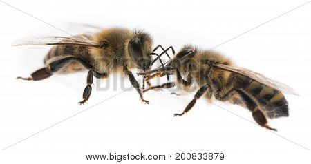 bee workers (apis mellifera) - in comunication