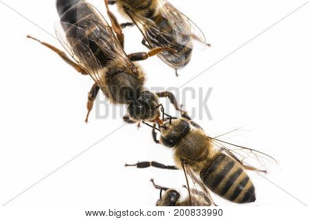 worker bee is feeding the queen (apis mellifera)