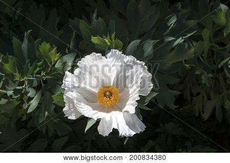 Bright white single Maitilija poppy growing outside