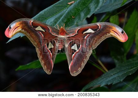 Atlas moth,the worlds largest moth,hangs out in the gardens.