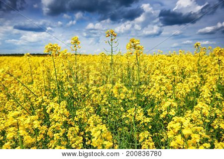 rapeseed yellow flower field, beautiful spring landscape
