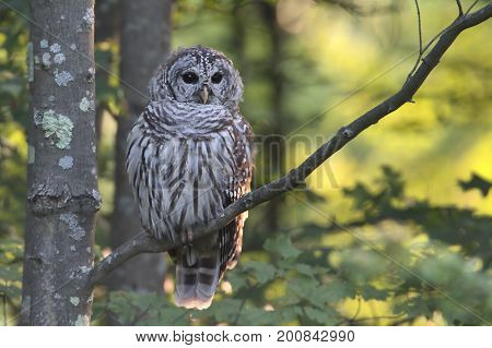 Barred Owl (Strix varia) in a tree with a green background