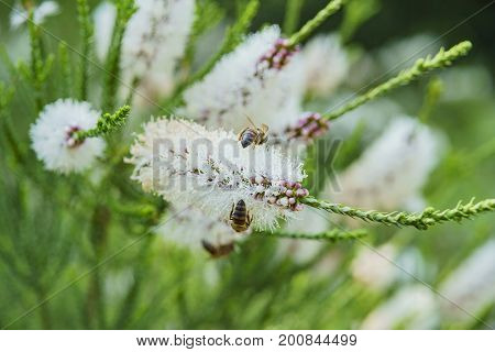 Little White Flower And Bees