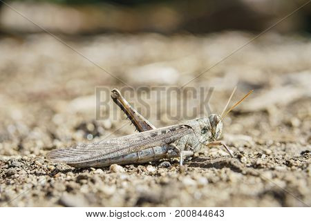 One Legged Brown Grasshopper