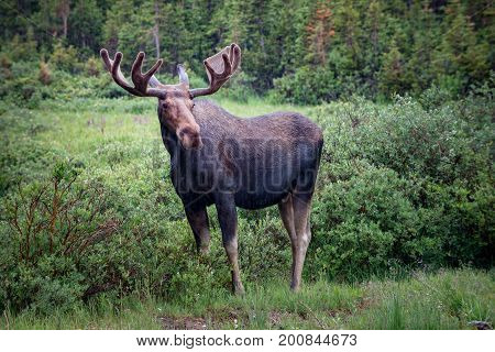 Moose Near Long Lake Trail Colorado
