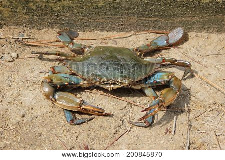 Chesapeake Bay Blue crab is looking straight at us