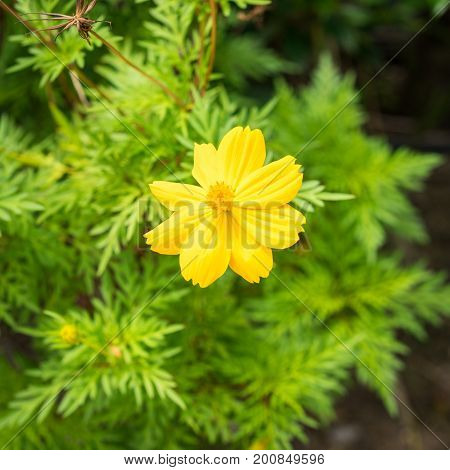 Close Up Yellow Cosmos Flower