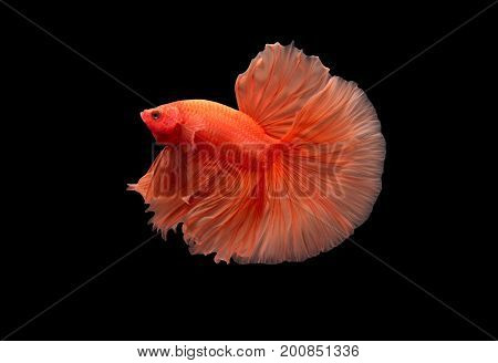 Orange Siamese fighting fish (Double-Tail Halfmoon) Beautiful and tail-like rose petals isolated on black background.