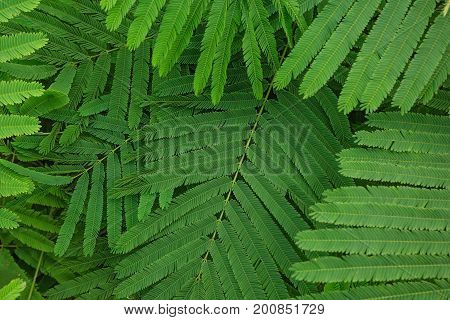 Green leaf texture. Leaf texture background Thai local vegetable Senegalia pennata or Acacia pennata or Cha-om