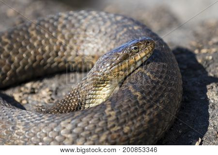 Northern Water Snake (nerodia Sipedon Sipedon) Basking On A Rock In Summer - Ontario, Canada