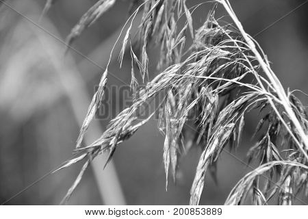 Reed inflorescence close-up. Shallow depth of field. Summer season. Black and white image