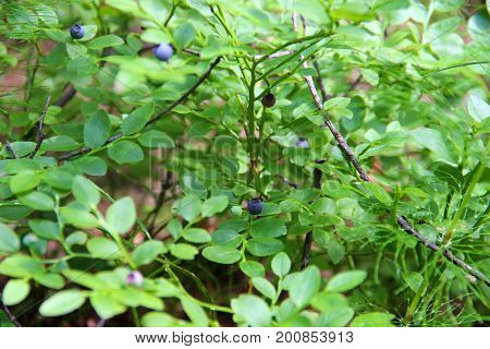 Vaccinium uliginosum. Bog bilberry or northen bilberry is growing in the swamp. Harvest in the forest