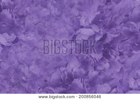 Floral violet beautiful background. Wallpapers of flowers violet peony. Flower composition. Close-up. Nature.