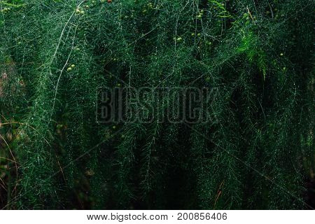 Asparagus Branches Background