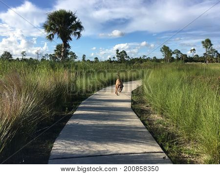 dog walking on a path in the wilderness of a marsh