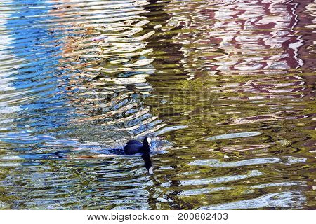 European Coot Duck Reflection Patters Designs Singel Canal Amsterdam Holland Netherlands. Canals in Amsterdam create beautiful abstract reflections.