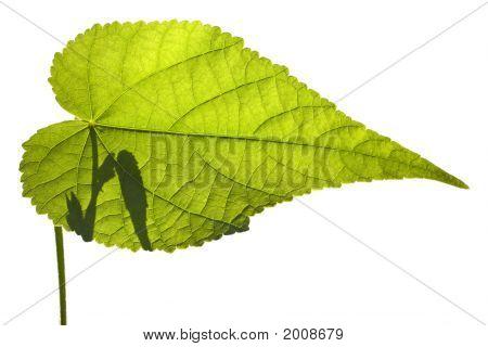 Abutilon Leaf On White