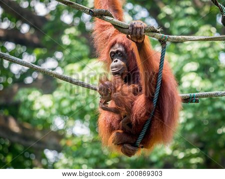 A female of the orangutan with a cub in the zoo. Bornean orangutan Pongo o pygmaeus wurmmbii in the zoo