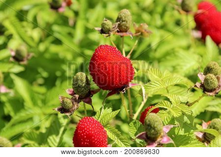 Rubus rosifolius raspberry and strawberry hybrid on bush