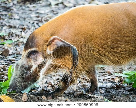 African Red river hog bush pig close up