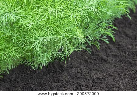 Selective soft focus. Herb, kitchen-garden with young green dill plants. Photo of dill harvest for eco cookery business. Organic food, fresh spice. Antioxidant kitchen herbs on the eco farm garden bed