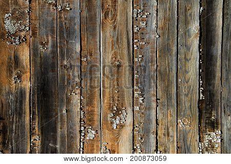 Wood texture background cowered by lichen. Lichen on wooden planks
