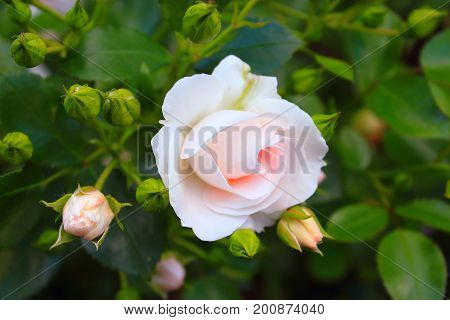 Pale Pink and white roses on the bushes. Rose Bush in the garden. Landscaping. Caring for garden shrubs. Wallpaper for desktop, foto for calendar
