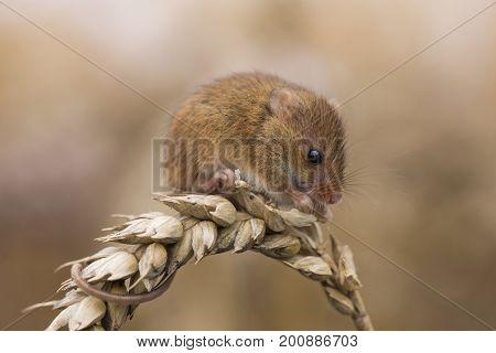 Harvest Mouse (micromys minutus) feeding on corn, Hertfordshire, UK