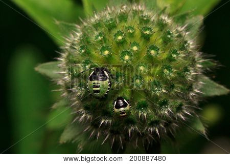 Two shield bugs are sitting on a green flower. Animals in wildlife.